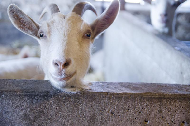 White goat curiously peers over his pen to see what we are doing. He looks like he is smiling. Cute and comical shot.