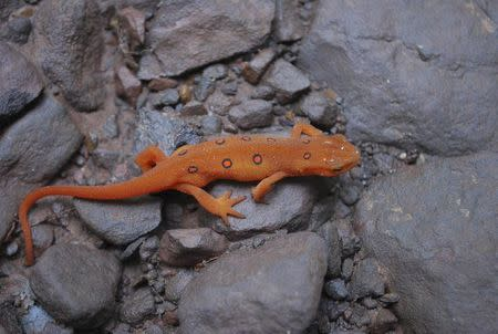 Handout photo of an Eastern red-spotted newt  at the Jefferson National Forest in Virginia