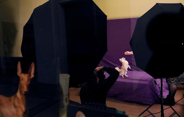 <p>Sapphire, a Long-haired chihuahua breed, has her portrait taken at the Hotel Pennsylvania ahead of the 142nd Westminster Kennel Club Dog Show in midtown Manhattan, New York City, Feb. 9, 2018. (Photo: Shannon Stapleton/Reuters) </p>