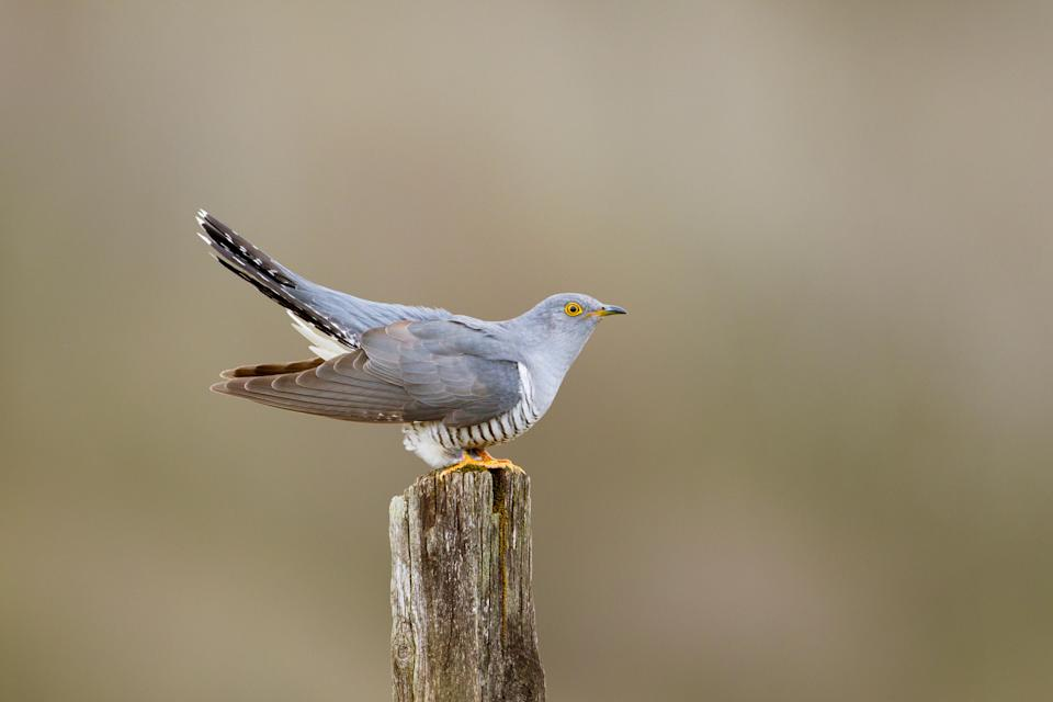 A cuckoo, a species whose numbers have declined significantly in recent years (Edmund Fellowes/BTO/PA)