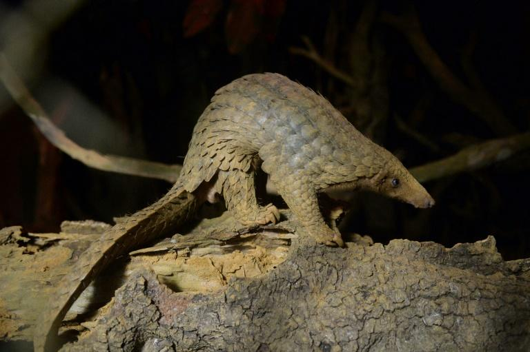 Pangolin body parts are highly valued in traditional medicine in countries including China and Vietnam while their meat is considered a delicacy