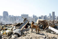 A dog of the French rescue team searches for survivors at the scene of this week's massive explosion in the port of Beirut, Lebanon, Friday, Aug. 7, 2020. Three days after a massive explosion rocked Beirut, killing over a hundred people and causing widespread devastation, rescuers are still searching for survivors and the government is investigating what caused the disaster. (AP Photo/Thibault Camus)