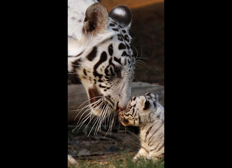 Khushi, a white tigress, plays with her newborn cub at the state zoological park in Gauhati, India, Saturday, Feb. 11, 2012. Khush gave birth to three cubs on Jan. 6. (AP Photo/Anupam Nath)
