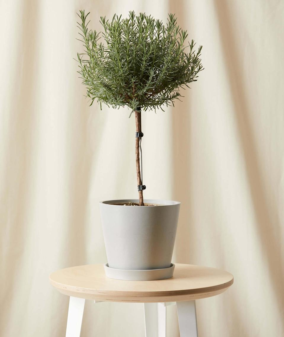 <p>This <span>Bloomscape Potted Lavender Tree</span> ($65) is such a special, thoughtful gift that you can have delivered to the house.</p>