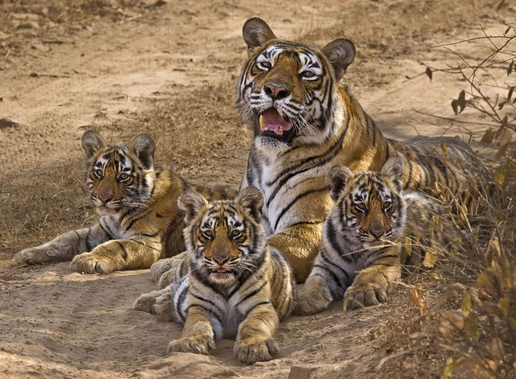 Ranthambhore National Park, Rajasthan, India - Wild tigress, Machli, and her three cubs relax in shade in Ranthambore National Park.