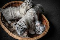 The zoo is home to 41 of this rare variety of white Bengal tiger (AFP Photo/FRED DUFOUR)