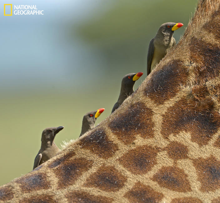 """I took this shot on a recent trip to Kenya and Tanzania while we were stopped admiring a number of giraffes. Many had oxpeckers on and about them and I noticed this one with four lined up evenly spaced. I took the shot just before they moved and broke the symmetry. (Photo and caption Courtesy Claudio Bacinello / National Geographic Your Shot) <br> <br> <a href=""""http://ngm.nationalgeographic.com/your-shot/weekly-wrapper"""" rel=""""nofollow noopener"""" target=""""_blank"""" data-ylk=""""slk:Click here"""" class=""""link rapid-noclick-resp"""">Click here</a> for more photos from National Geographic Your Shot."""