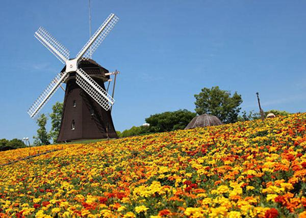 ▲Marigolds spread out beyond the sunflower fields (Best time to see marigolds here: June to August)