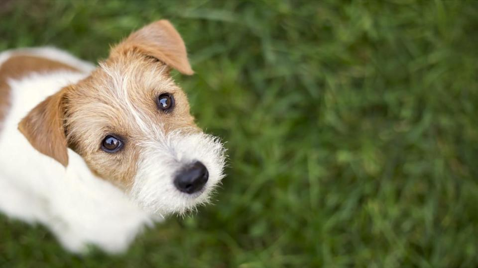 """That puppy-dog look that your canine companion gives you is completely adorable, totally intentional, and something that they've developed since they've become man's best friend. A 2019 study in the <i>Proceedings of the National Academy of Sciences</i> explained that domesticated dogs have <a href=""""https://www.pnas.org/content/116/29/14677"""" rel=""""nofollow noopener"""" target=""""_blank"""" data-ylk=""""slk:evolved to have facial muscles around their eyes"""" class=""""link rapid-noclick-resp"""">evolved to have facial muscles around their eyes</a> that wild wolves lack. These muscles give our pets the ability to make certain expressions that are intended to communicate with humans, such as raising their eyebrows to make them look like they're sad or pouting."""