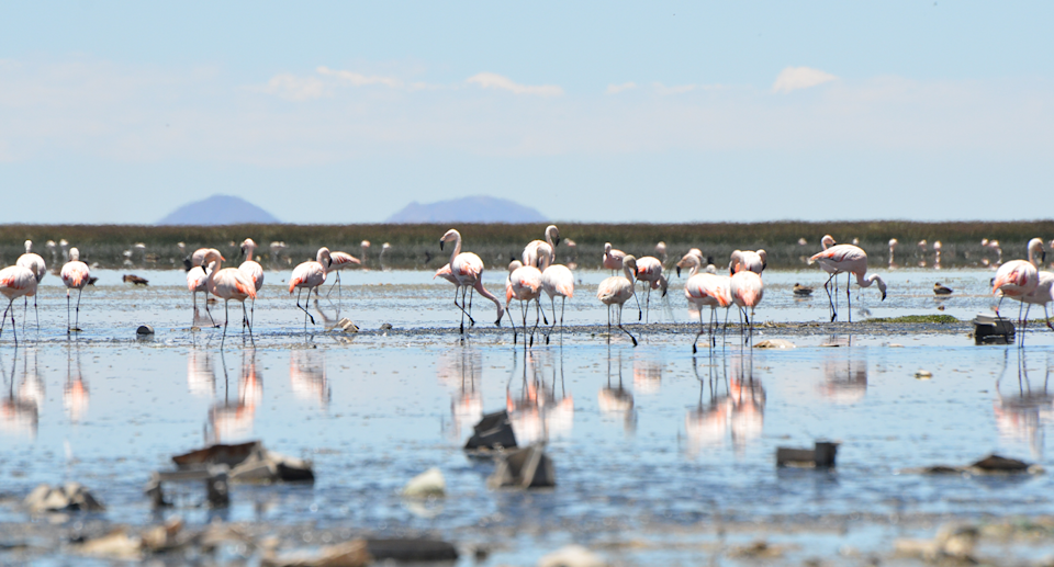 Flamingos once flocked together at Uru Uru and Potoo lakes. Source: Getty