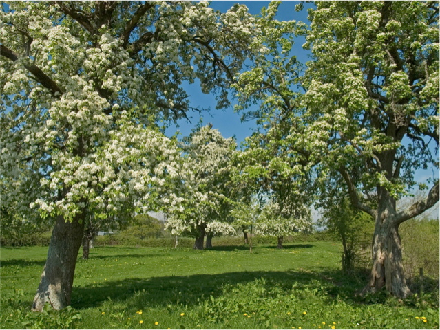 One of Gregg's Pit pear trees (Gregg's Pit)