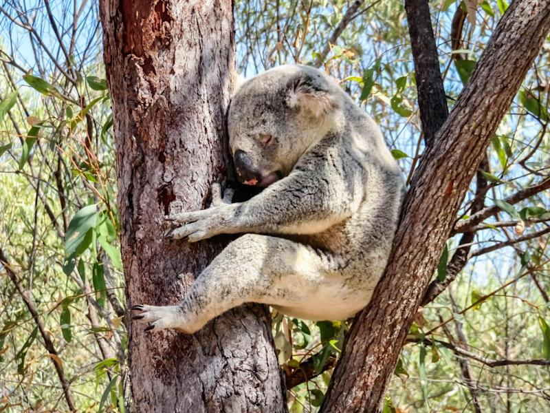 A koala sleeping in a eucalyptus tree. The IUCN red list update revealed that almost 25% of all eucalyptus species are threatened with extinction.