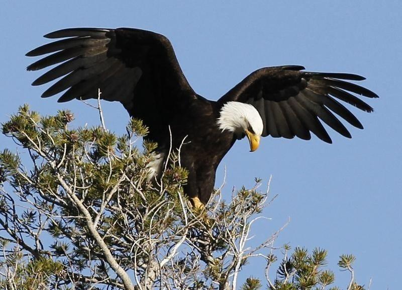 A bald eagle takes off as U.S. marathon runner Meb Keflezighi (not pictured) trains for the London 2012 Olympics in Mammoth Lakes, California May 29, 2012.  REUTERS/Lucy Nicholson