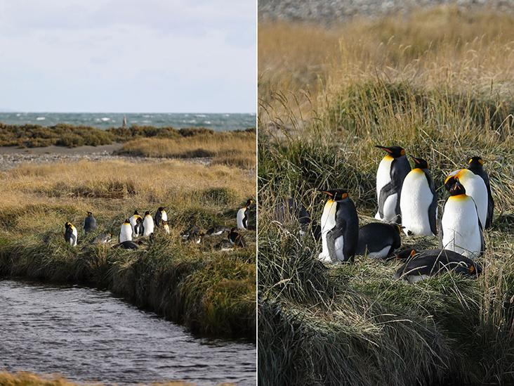 The southernmost colony of king penguins in the world.