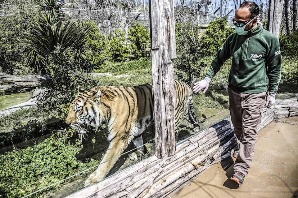 "NAPLES, CAMPANIA, ITALY - 2020/04/06: A employee of the Naples zoo takes care of a tiger. The Naples zoo, which is now closed according to the provisions contained in the security decrees for the fight against Coronavirus (COVID-19), has launched the ""suspended ticket"" campaign, in practice you can buy the ticket now and come to see the animals when the zoo is reopened, to support the expenses that the zoo has also in this closing period. (Photo by Roberta Basile/KONTROLAB/LightRocket via Getty Images)"