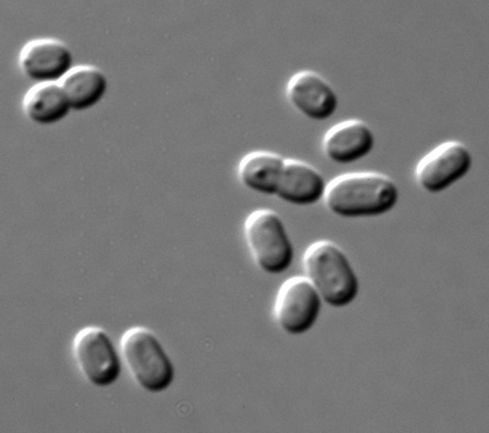 """<span class=""""caption"""">Cianobacterias Synechococcus.</span> <span class=""""attribution""""><a class=""""link rapid-noclick-resp"""" href=""""https://commons.wikimedia.org/wiki/File:Synechococcus_PCC_7002_DIC.jpg"""" rel=""""nofollow noopener"""" target=""""_blank"""" data-ylk=""""slk:Wikimedia Commons / Masur"""">Wikimedia Commons / Masur</a></span>"""