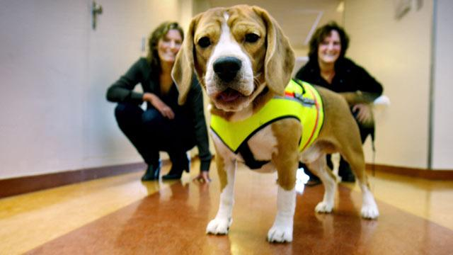 Beagle Sniffs Out Bacterial Infection