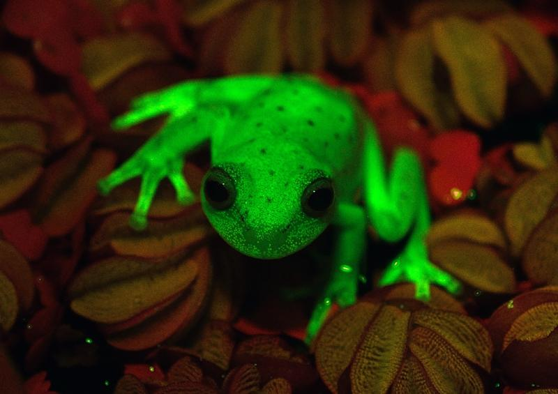 Argentine and Brazilian scientists at the Bernardino Rivadaiva Natural Sciences Museum discovered the first naturally fluorescent frog almost by accident