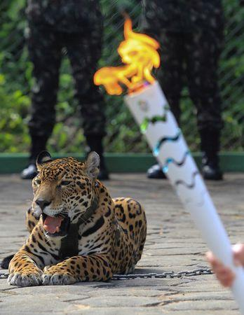 Jaguar Juma is pictured during the Olympic Flame torch relay in Manaus, Brazil, June 20, 2016. Picture taken June 20, 2016.    REUTERS/Marcio Melo