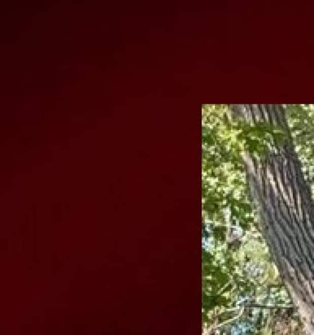 The bear is cornered in a tree in the Dorval area, according to a neighbour.