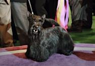 <p>Sadie, a Scottish terrier, is perhaps the most adorable thing we've seen all day. Just look at that face!</p>