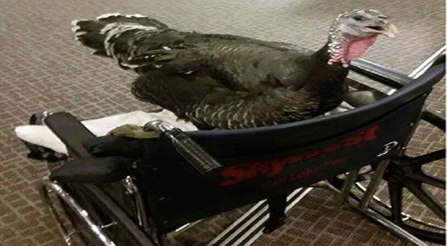 A pet turkey was allowed onboard a US flight in 2015 as an emotional support animal. Source: Reddit/biggestlittlepickle