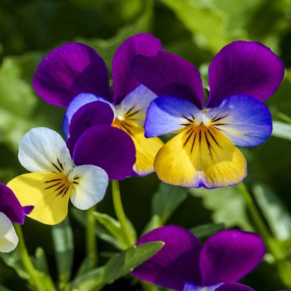 """<p>Plant these <a href=""""https://www.popsugar.com/buy/David-Garden-Pansy-Seeds-571604?p_name=David%27s%20Garden%20Pansy%20Seeds&retailer=amazon.com&pid=571604&price=7&evar1=casa%3Auk&evar9=46114279&evar98=https%3A%2F%2Fwww.popsugar.com%2Fhome%2Fphoto-gallery%2F46114279%2Fimage%2F47449688%2FDavid-Garden-Pansy-Seeds&prop13=api&pdata=1"""" class=""""link rapid-noclick-resp"""" rel=""""nofollow noopener"""" target=""""_blank"""" data-ylk=""""slk:David's Garden Pansy Seeds"""">David's Garden Pansy Seeds</a> ($7) in the spring so that they bloom before the first frost! It typically takes 3 months for pansy seeds to mature. </p>"""