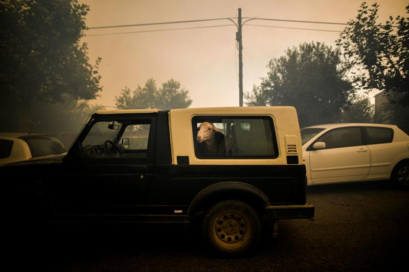 A sheep looks outside a car window during a wildfire in Cardigos village in Macao, central Portugal on July 21, 2019. (Photo: Patricia De Melo Moreira/AFP/Getty Images)