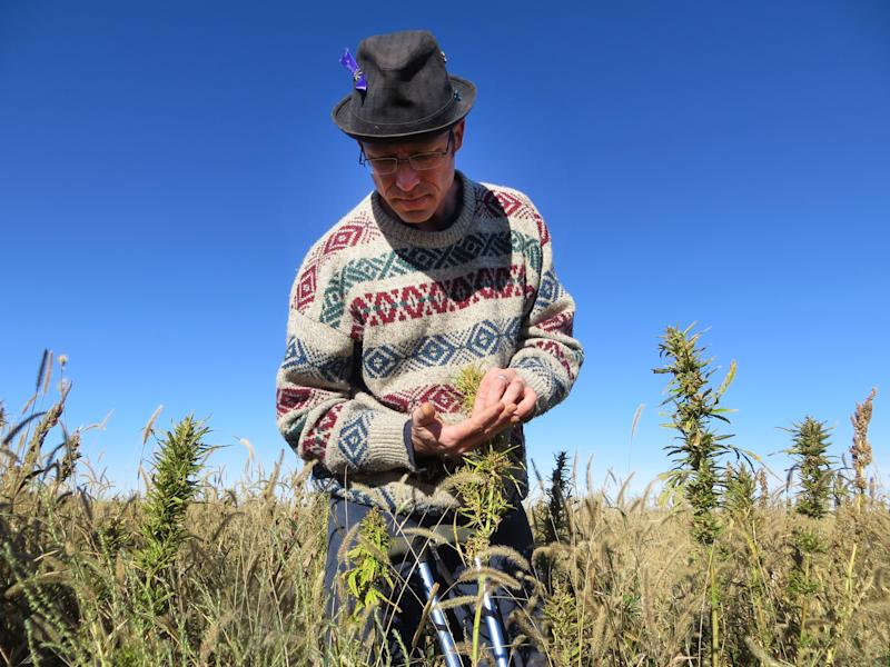 In this Oct. 5, 2013 photo, Jason Lauve, executive director of Hemp Cleans, looks at hemp seeds at a farm in Springfield, Colo. during the first known harvest of industrial hemp in the U.S. since the 1950s. Hemp and marijuana are the same species, Cannabis sativa, just cultivated differently to enhance or reduce marijuana's psychoactive chemical, THC. (AP Photo/Kristen Wyatt)