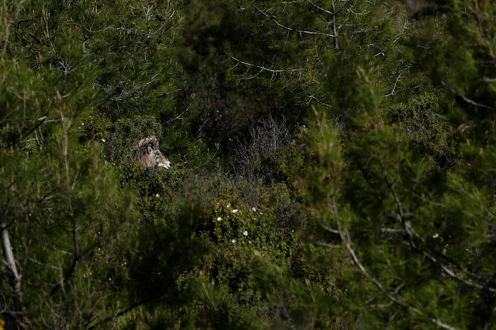 An endangered Mouflon sheep is seen in the forest near the abandoned village of Varisia, inside the U.N controlled buffer zone that divide the Greek, south, and the Turkish, north, Cypriot areas since the 1974 Turkish invasion, Cyprus, on Friday, March 26, 2021. Cyprus' endangered Mouflon sheep is one of many rare plant and animal species that have flourished a inside U.N. buffer zone that cuts across the ethnically cleaved Mediterranean island nation. Devoid of humans since a 1974 war that spawned the country's division, this no-man's land has become an unofficial wildlife reserve. (AP Photo/Petros Karadjias)