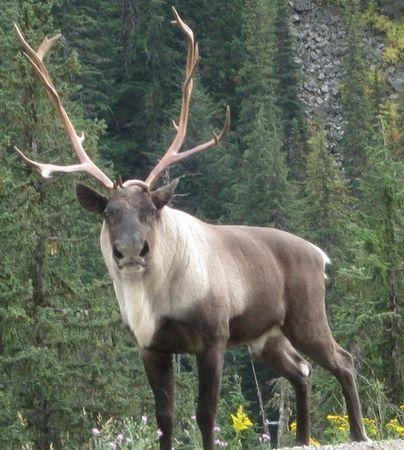 Handout photo of a woodland caribou