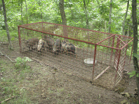 Trapped feral swine are pictured in this undated handout from the U.S. Department of Agriculture, Animal and Plant Health Inspection Service. REUTERS/USDA APHIS/Handout via Reuters