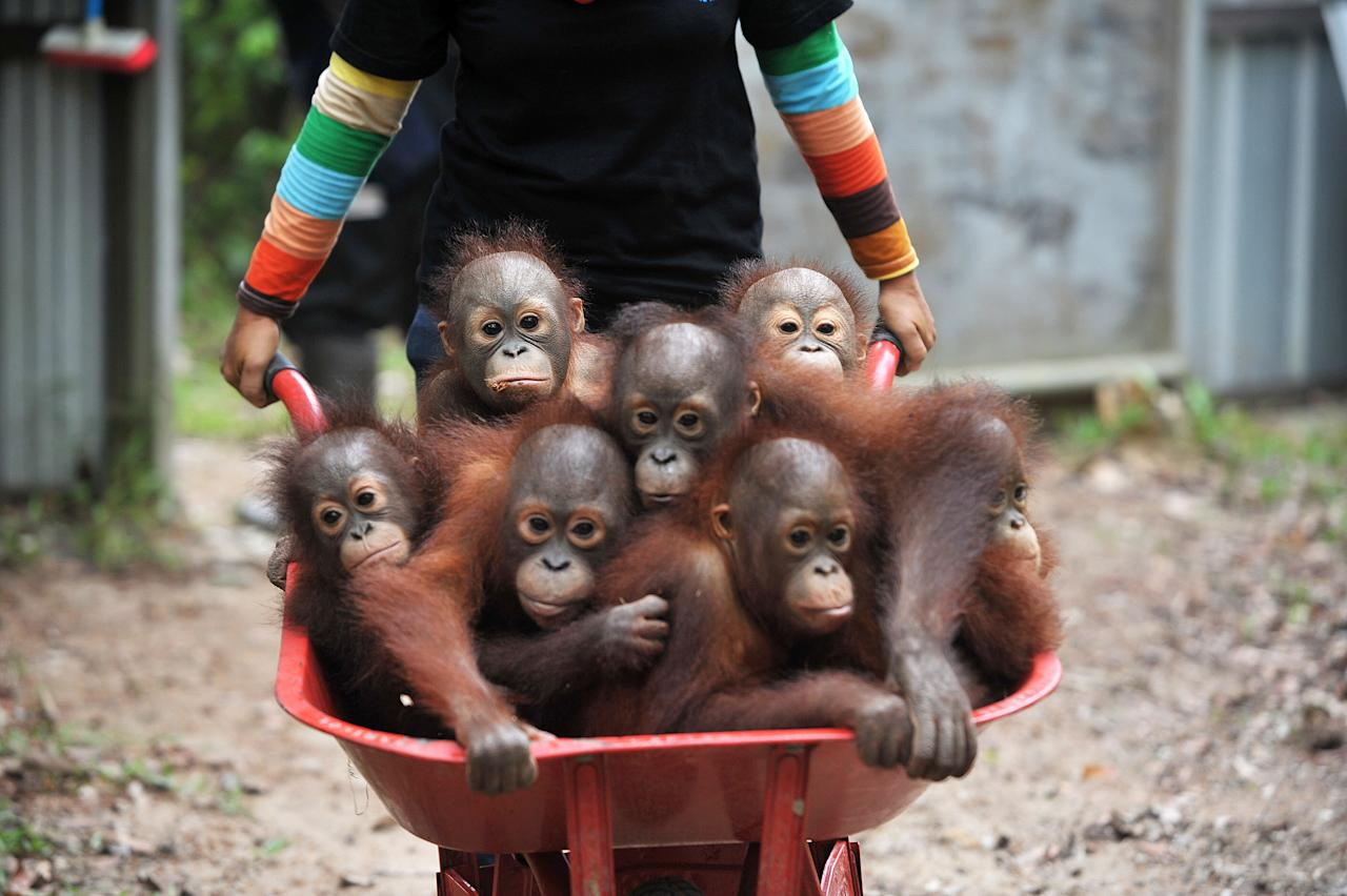 <p>Keepers bring Orangutan babies with wheelbarrows at a forest school in International Animal Rescue (IAR) Orangutan Safety and Conservation Center in Ketapang, Indonesia. (PA) </p>