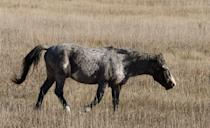 "<p><strong>State Equine: Nokota horse </strong></p><p>These <a href=""https://www.ndtourism.com/information/north-dakota-state-symbols"" rel=""nofollow noopener"" target=""_blank"" data-ylk=""slk:beautiful wild horses"" class=""link rapid-noclick-resp"">beautiful wild horses</a>, which may be descendants of Sitting Bull's ponies roam free through Theodore Roosevelt <a href=""https://www.redbookmag.com/life/g31448463/underrated-national-parks/"" rel=""nofollow noopener"" target=""_blank"" data-ylk=""slk:National Park."" class=""link rapid-noclick-resp"">National Park. </a></p>"