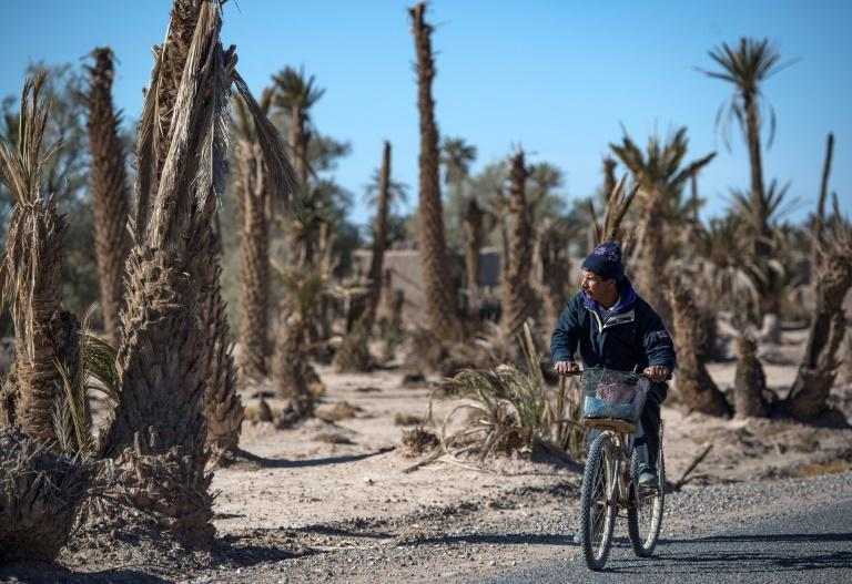 Morocco has lost two-thirds of its 14 million palm trees over the last century as water in some areas like the oases becomes scarce (AFP Photo/FADEL SENNA)