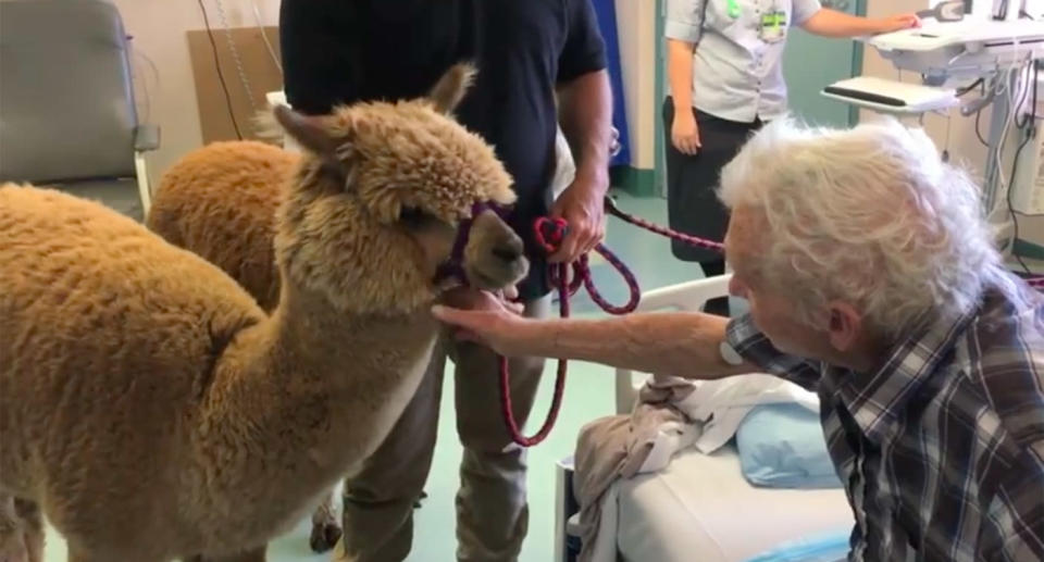 The animals have already made three visits to the hospital in Queensland. Source: Metro South Health