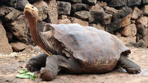 PHOTO: Diego, the giant tortoise helped to save his species by procreating 800 turtles is pictured in Galapagos, Ecuador, Jan. 9, 2020. (Galapagos National Park via Shutterstock )
