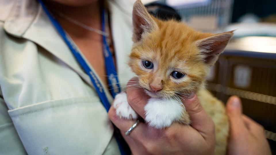 Photo shows the injured kitten being held by a woman. Source: RSPCA QLD