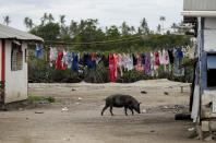 In this April 7, 2019, photo, a pig walks outside a house in Nuku'alofa, Tonga. China is pouring billions of dollars in aid and low-interest loans into the South Pacific, and even in the far-flung kingdom of Tonga there are signs that a battle for power and influence among much larger nations is heating up and could exact a toll. (AP Photo/Mark Baker)
