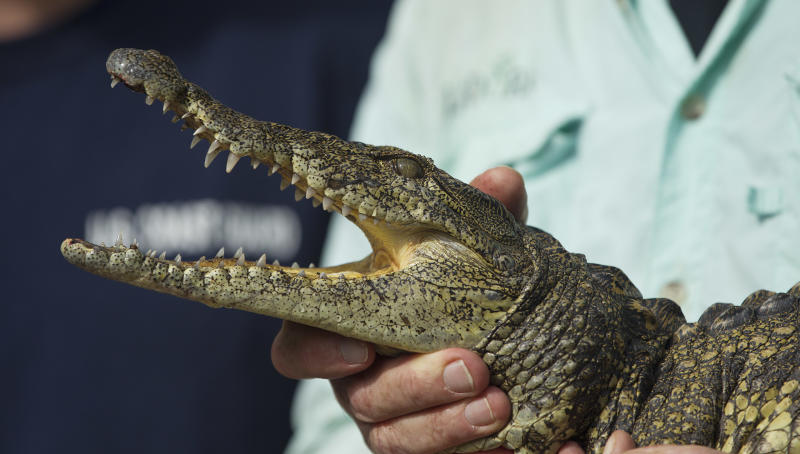 """In this Wednesday, Nov. 28, 2012 photo, Joe Wasilewski works with his captured Nile crocodile, caught near his Homestead, Fla., home. State wildlife officials have given their agents a rare order to shoot to kill in the hunt for a young and potentially dangerous Nile crocodile loose near Miami. """"They get big. They're vicious. The animals are just more aggressive and they learn that humans are easy targets,"""" says Wasilewski, a reptile expert and veteran wrangler. The American croc """"is a gentle animal, believe it or not. That's their nature. They're more fish eaters. They don't consider humans a prey source,"""" says Wasilewski. (AP Photo/J Pat Carter)"""