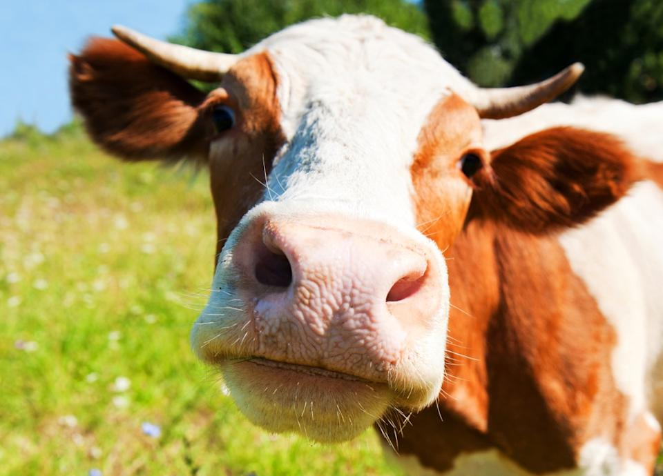 an adorable photo of a cow up-close to the camera, adorable cows