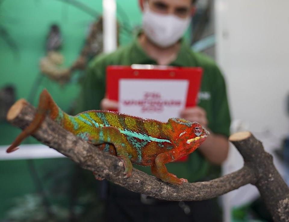 A panther chameleon in no rush for its check-up (Steve Parsons/PA) (PA Wire)