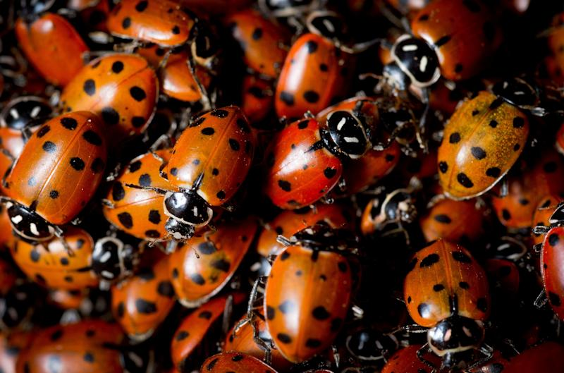 After emerging from winter hibernation, hundreds of ladybird beetles – often called ladybugs – cluster in the leaves under a shrub on the South Hill in Spokane, Wash. on Sunday, March 31, 2013. The ladybird beetle, Hippodamia convergens, is a gardener's best friend, eating perhaps its weight in aphids daily. Strict carnivores, they eat no leafy vegetation. (AP/The Spokesman-Review, Colin Mulvany)
