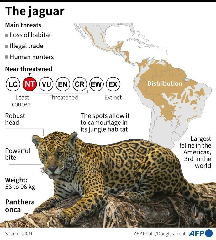 """The jaguar, a """"near threatened"""" species according to the International Union for Conservation of Nature (IUCN)"""