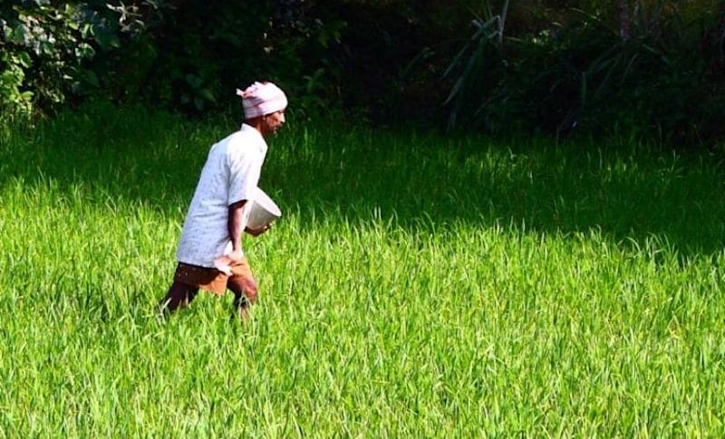 An Indian farmer spreading fertiliser over a crop. Photo by Kiran Kumar from Bangalore, India/Wikimedia Commons.