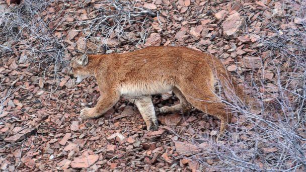 PHOTO: This March 8, 2006, file photo provided by the Oregon Department of Fish and Wildlife shows a cougar in the Beulah Wildlife Management Unit in Oregon's Malheur County. (AP)
