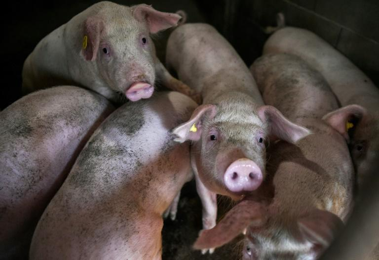 The African swine fever epidemic has wiped out about 40 percent of China's pig herd, sending the price of pork soaring (AFP Photo/NIKOLAY DOYCHINOV)