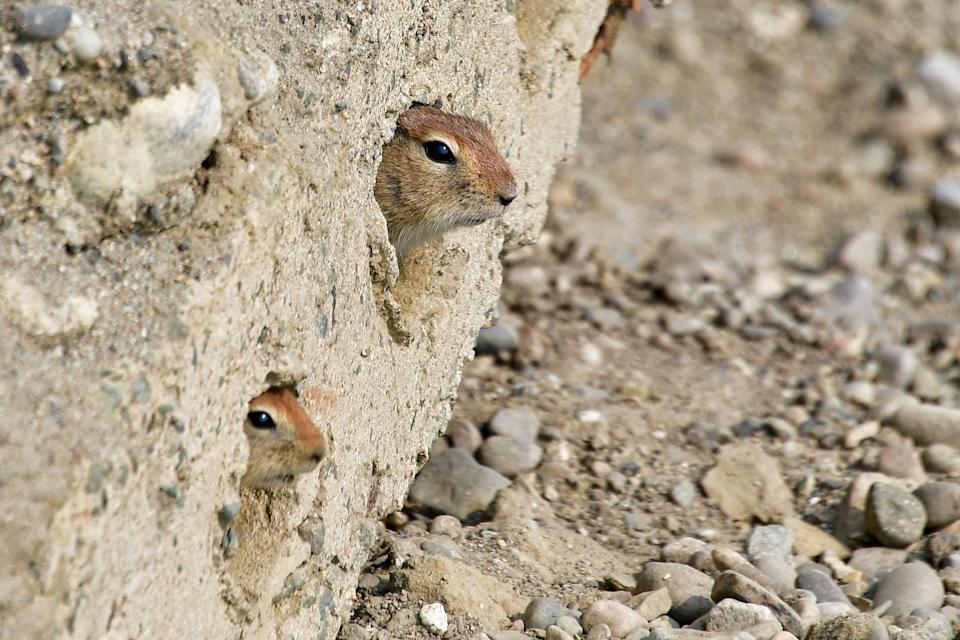 CHUKOTKA, RUSSIA - JULY 10, 2019: Arctic ground squirrels  in the village of Selo Lavrentiya on the eastern coast of Chukotka. Yuri Smityuk/TASS (Photo by Yuri Smityuk\TASS via Getty Images)