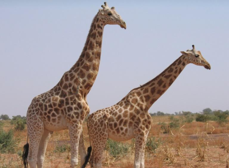 West African or Niger giraffes, the last of which are in southwestern Koure, near where the attack on French tourists took place