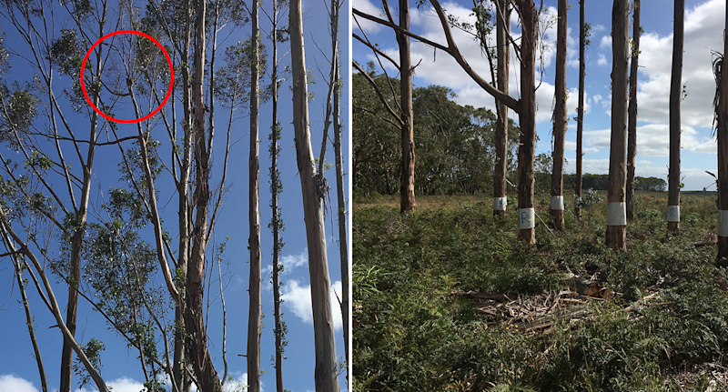 Split screen. Left - a red circle around a koala joey high in a tree. Right - trees ringed with plastic.